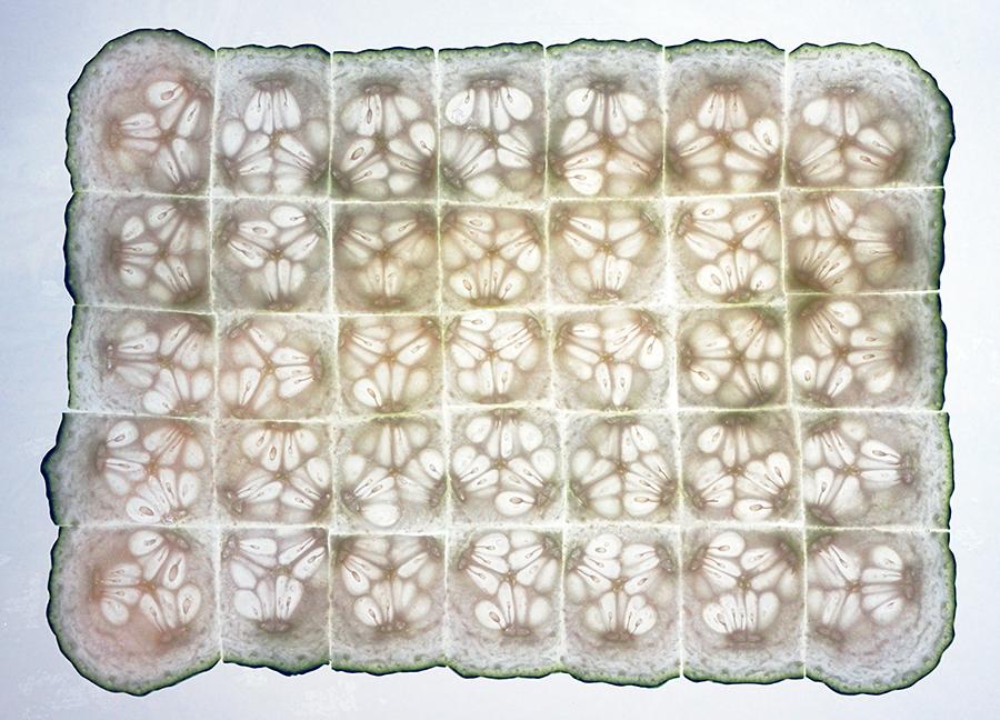 """Cucumber Tissue"" by Roman Chikerinets"